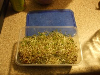 The Finished Product - Fresh Alfalfa Sprouts